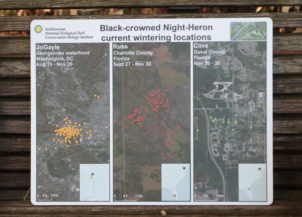 Satellite tracking devices mark the daily locations of black-crowned night herons during their summer breeding season at the Smithsonian National Zoo (left panel; yellow dots) and during their winter sojourns in Florida (middle and right panel, red and green dots). Courtesy of Pete Marra/Smithsonian Migratory Bird Center.