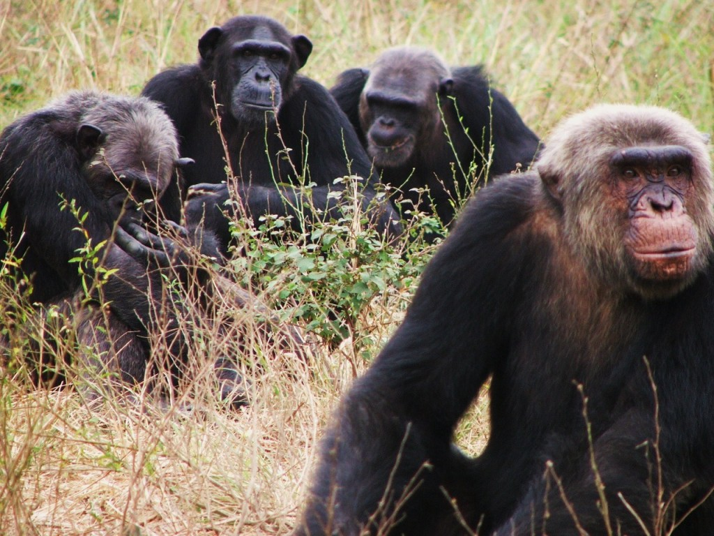 no more raw bananas study finds chimps would actually prefer