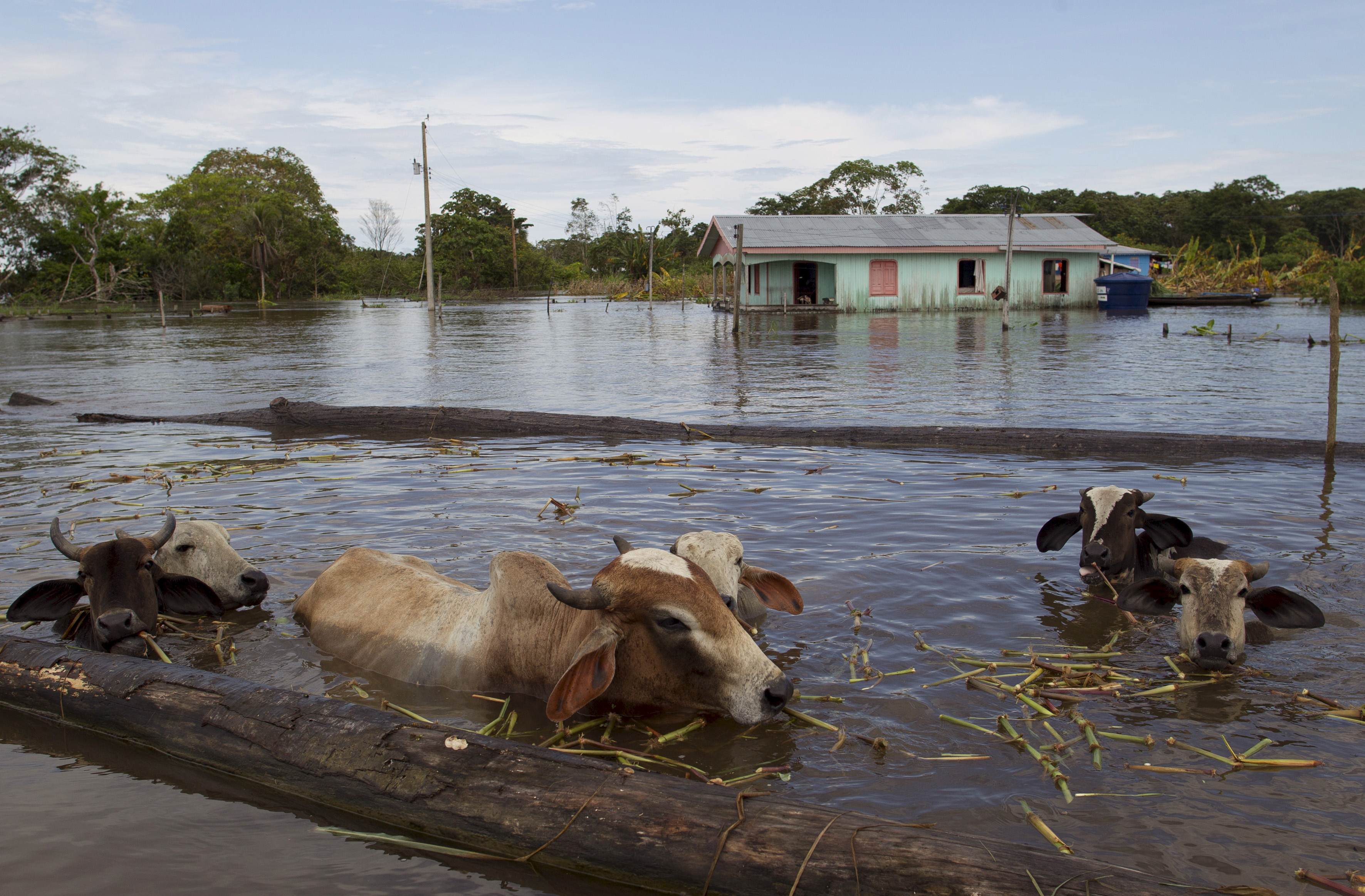 Cattle are seen in a street flooded by the rising Rio Solimoes, one of the two main branches of the Amazon River, in Anama, Amazonas state, Brazil on May 28, 2015. Photo by Bruno Kelly/Reuters