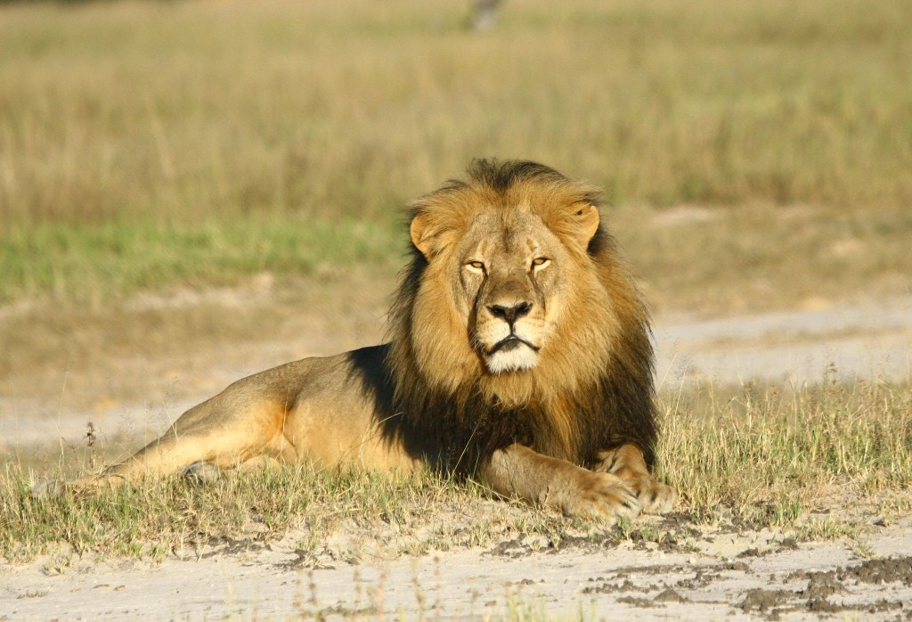 Obama administration expands wildlife protections for lions