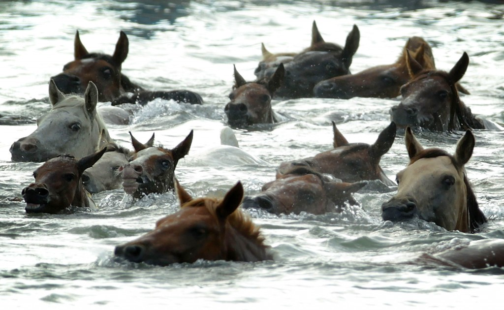 CHINCOTEAGUE, VA - JULY 29:  Wild ponies are herded into the Assateague Channel during the annual pony swim event from Assateague Island to Chincoteague on July 29, 2015 in Chincoteague, Virginia. Wild ponies were rounded up on the national wildlife refuge and herded across the channel to be auctioned off by the Chincoteague Volunteer Fire Company during the 90th annual event. Photo by Alex Wong/Getty Images
