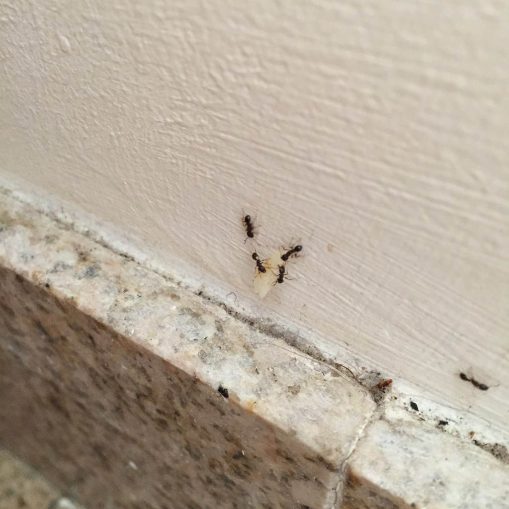 Ants tug a piece a dog food up a vertical wall in science writer Brooke Borel's apartment in Brooklyn. Photo by Brooke Borel