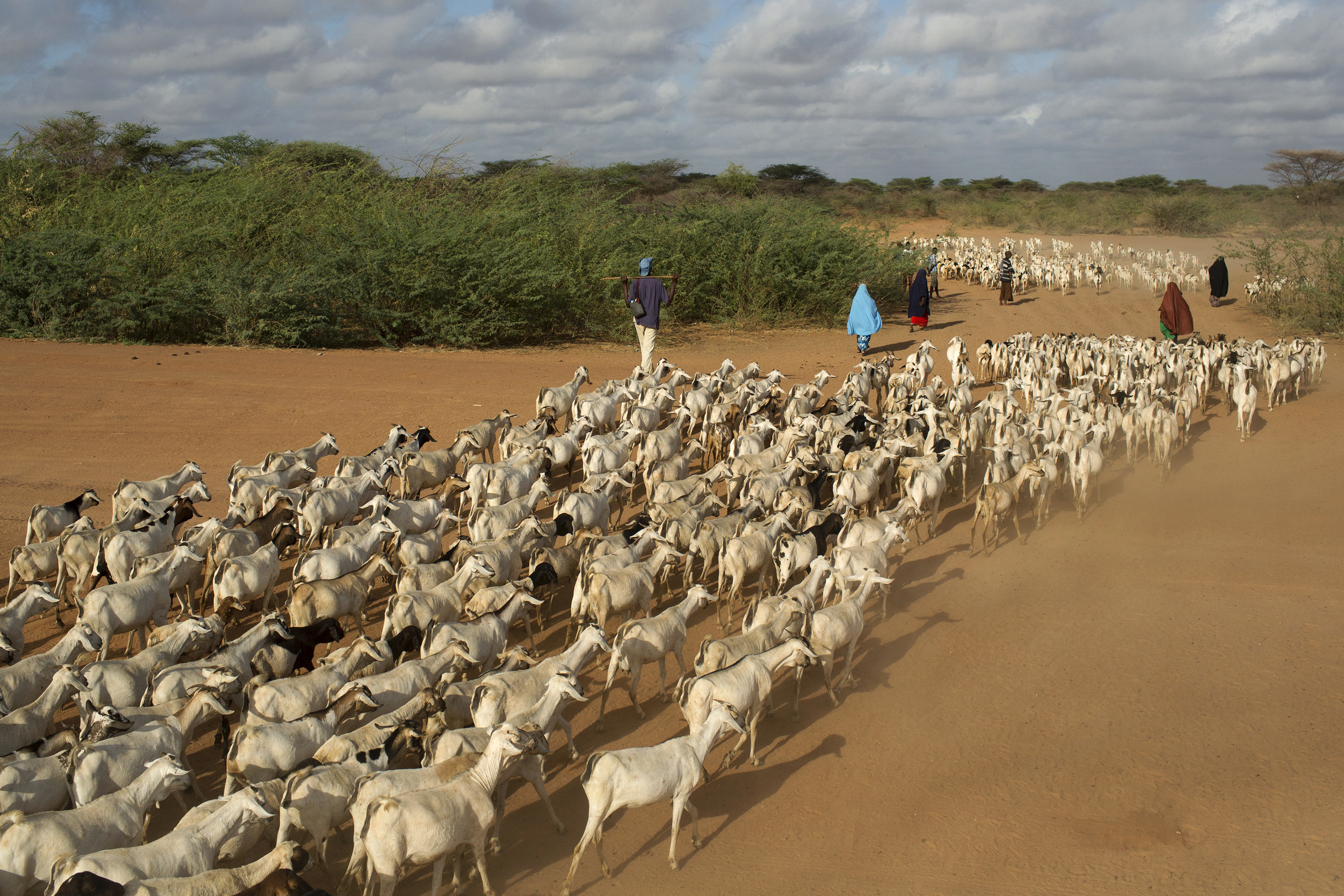 Goats are herded to a grazing ground in the early hours of the morning near Dagahale, one of several refugee settlements in Dadaab in northeastern Kenya on Oct. 9, 2013. People work to have a normal routine even in a makeshift living environment. Photo by Siegfried Modola/Reuters