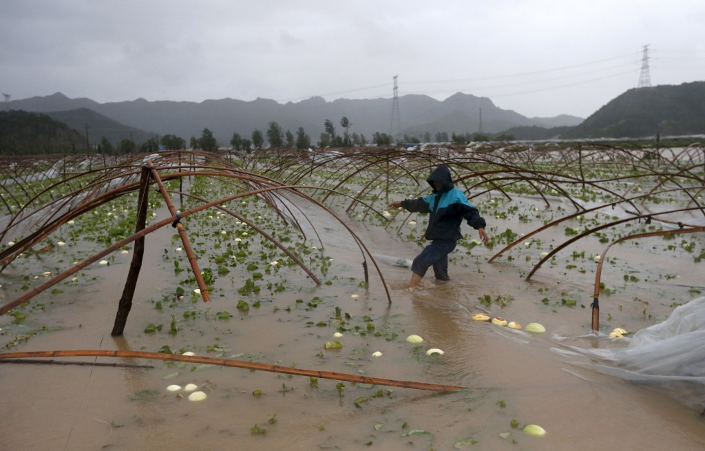 A farmer walks among a flooded watermelon field as heavy rainfall from Typhoon Chan-hom, hits Sanmen county, Zhejiang province in China on July 11, 2015. Many local enterprises have been forced to close due to the typhoon, but the agricultural sector is expected to be hit the hardest with economic losses. Photo by William Hong/Reuters
