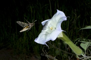 A hawkmoth (Manduca Sexta) drinking nectar from a Datura Flower in Madera Canyon, Arizona. Professor Goggy Davidowitz's lab at the University of Arizona studies how these moths can sense changes in humidity, which help them detect flowers with lots of nectar. Photo by Bruce Taubert