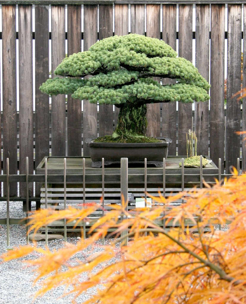 Centuries Old Bonsai That Survived Atomic Bomb Gets Honored 70 Years Later Pbs Newshour