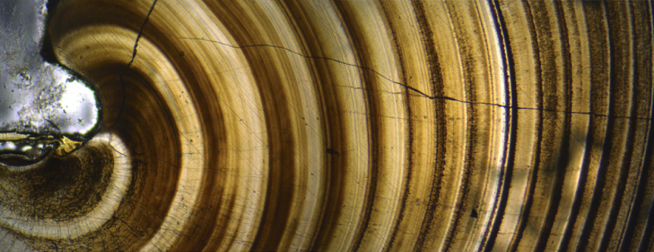 A cross section of a geoduck clam's shell shows its growth rings. Photo from WDFW