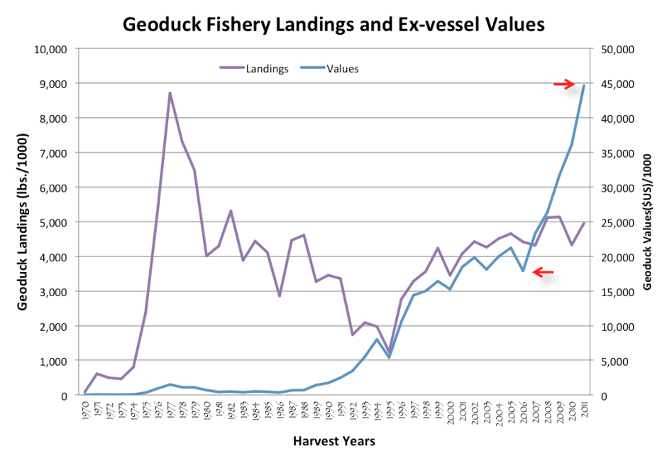 The total amount of geoduck catch reported by fishers (landings) has remained fairly steady since a 2.7 percent harvest rate was established in the 1980s. At the same time, the overall value of geoduck prices has risen dramatically. Graphic from Washington Department of Fish and Wildlife