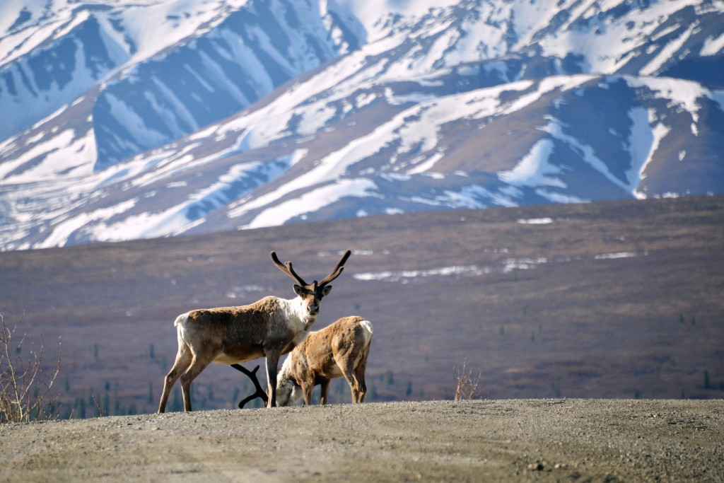 "Caribou, like those seen here in Denali National Park, Alaska, are dying in greater numbers in certain parts of the globe, ""because the abundance of forage plants now peaks before the animals arrive on their summer breeding grounds,"" according to a new study in Science. Photo by Lance King/Getty Images."