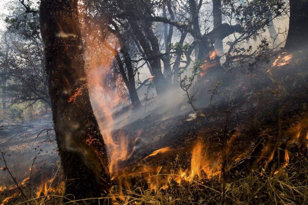 An oak tree ignites at the Rocky Fire in Lake County, California July 30, 2015. Photo by Max Whittaker/Reuters