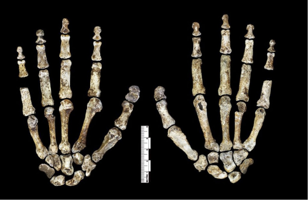 The hands of Homo naledii. The proportions of digits are humanlike.