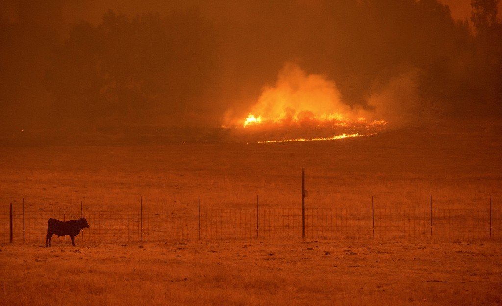 A cow grazes in a pasture as the Butte Fire burns Mountain Ranch, California September 11, 2015. The so-called Butte Fire has destroyed six homes and two outbuildings since it erupted on Wednesday near the former gold mining town of Jackson. Governor Jerry Brown on Friday declared a state of emergency for Amador and Calaveras counties, which were damaged by the blaze. REUTERS/Noah Berger - RTSQ21
