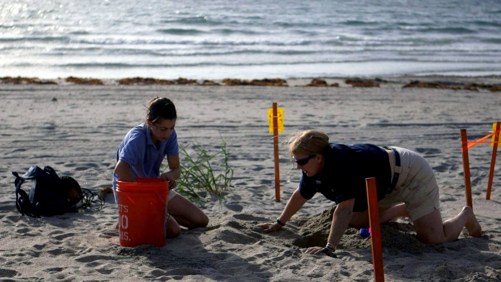 Jeanette Wyneken and Alex Lolavar prep an artificial nest for relocated sea turtle eggs. Lolavar uses the opportunity to perform an outdoor experiment on sex ratios. Photo by Mike Fritz