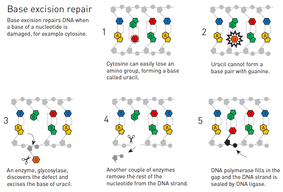 Base excision repair. Illustration by the Royal Swedish Academy of Sciences