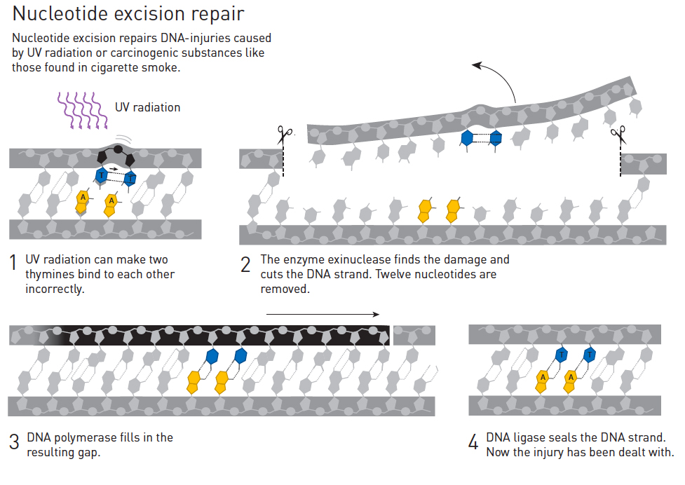Nucleotide excision repair. Illustration by the Royal Swedish Academy of Sciences