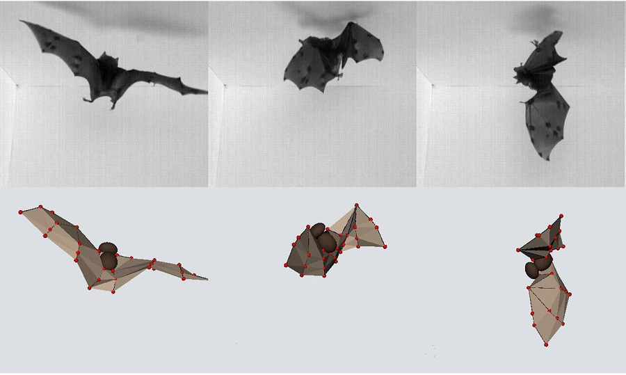 High-speed video and computer models revealed that use bats make  acrobatic flips and land upside down. Photo by Bergou AJ et al. (2015) PLoS Biology