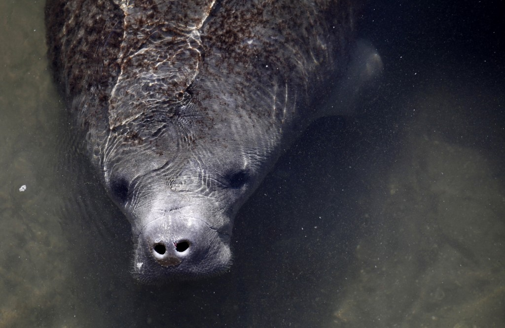 A manatee is seen nearby an inactive power plant in Riviera Beach, Florida, Jan. 7, 2010. Photo by Carlos Barria/Reuters