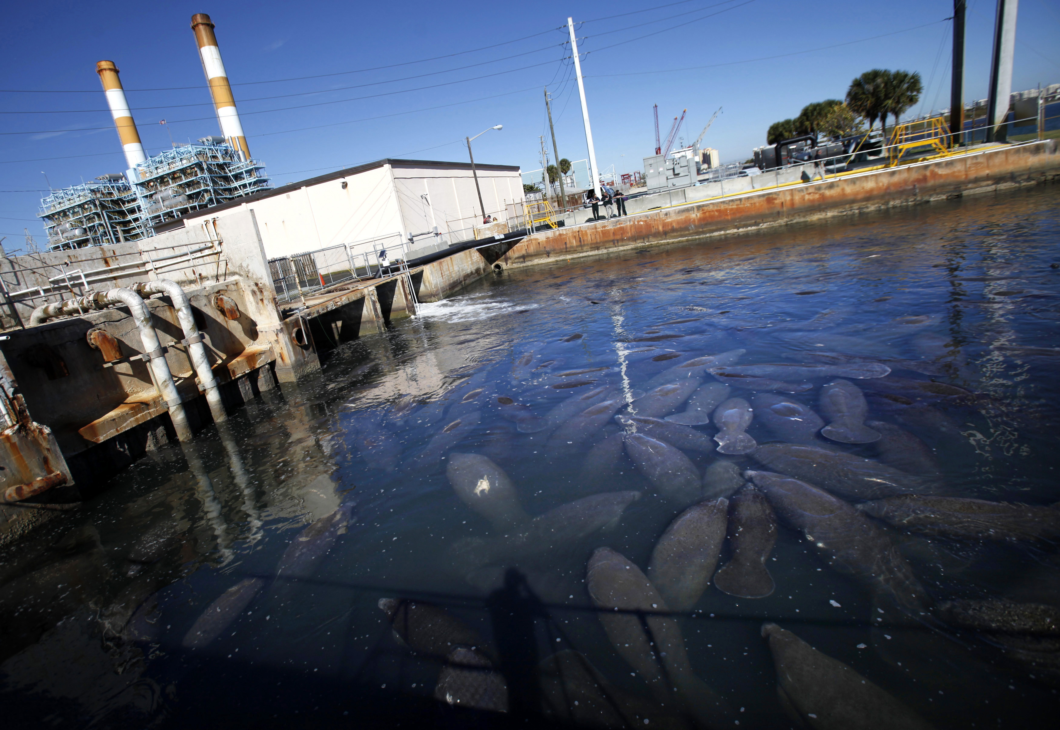Manatees gather near the outlet where Florida Power & Light Company pipes warm the water, at an inactive power plant undergoing renovation works in Riviera Beach, Florida, Jan. 7, 2010. With 61 degrees Fahrenheit being the minimum temperature that a manatee needs to survive, FPL is helping prevent deaths by turning on the heaters at the plant for the manatees. Photo Carlos Barria/Reuters