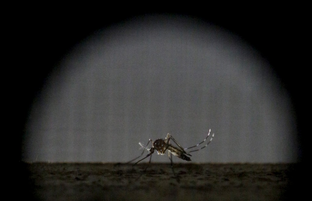 A sterile female Aedes aegypti mosquito is seen in a research area to prevent the spread of Zika virus and other mosquito-borne diseases, at the entomology department of the Ministry of Public Health, in Guatemala City, January 28, 2016. Photo by Josue Decavele/REUTERS