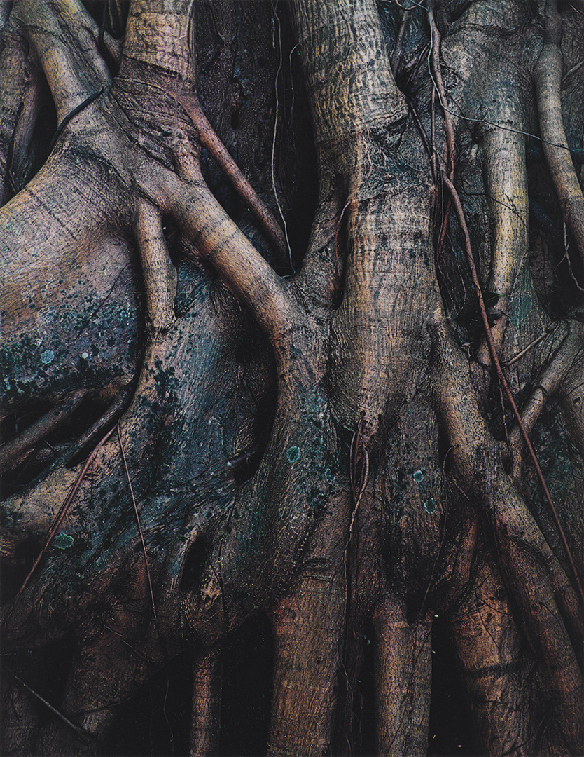 Strangler Fig Roots, Everglades National Park, Florida, March 7, 1954–by Eliot Porter (1901-1990 Dye imbibition print. 1954. Amon Carter Museum of American Art, Fort Worth, Texas. P1990.51.2158