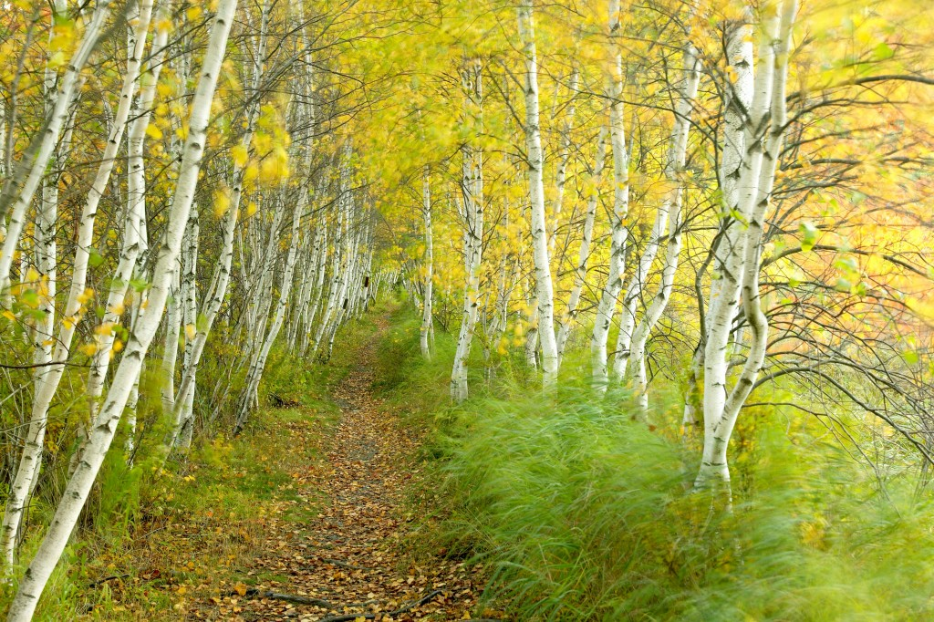 Birch trees – Acadia National Park –by Michael Melford