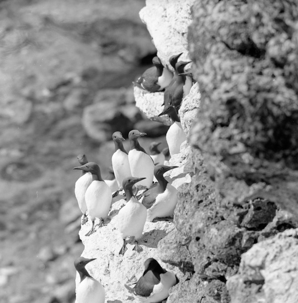 Common guillemots in the island of Stora Karlsö in 1960. Photo by Gösta Håkansson/Gotland museum collection/Hentati-Sundberg and Olsson, Current Biology, (2016).