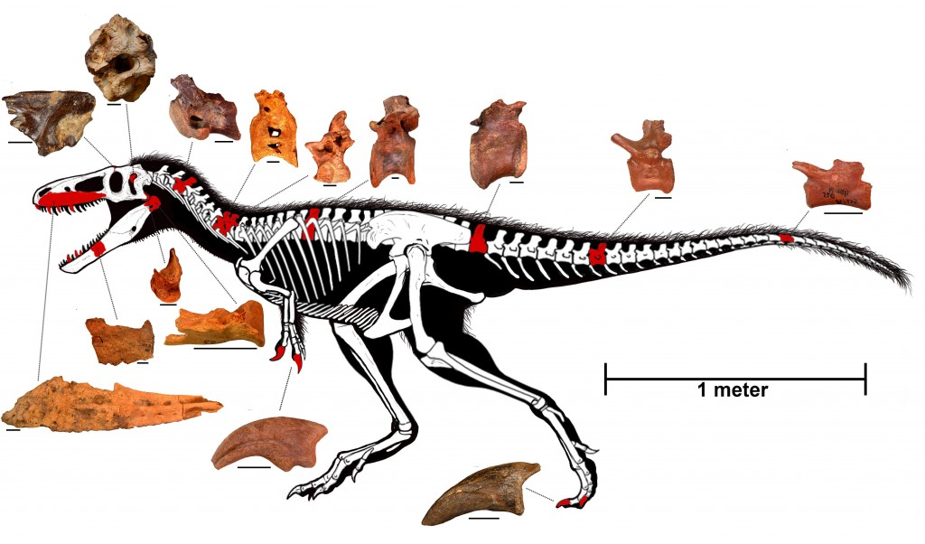 Reconstructed skeleton of Timurlengia euotica with discovered fossilized bones, highlighted in red, and other bones remaining to be discovered inferred from other related species of tyrannosaurs in white. Individual scale bars for the pictured fossilized bones each equal 2 cm. Photo courtesy of Brusatte et al., PNAS, 2016.