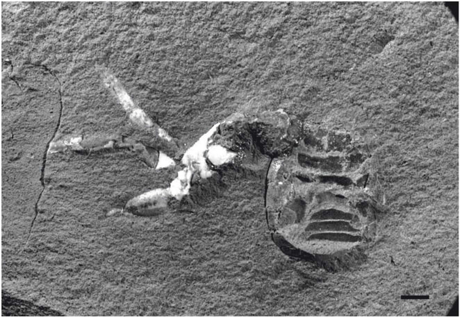 In the mid-1970s, an amateur fossil hunter discovered what ultimately turned out to be the closest  known relative of modern-day spiders. Photo courtesy of Garwood RJ et al., Proc. R. Soc. B, (2016)