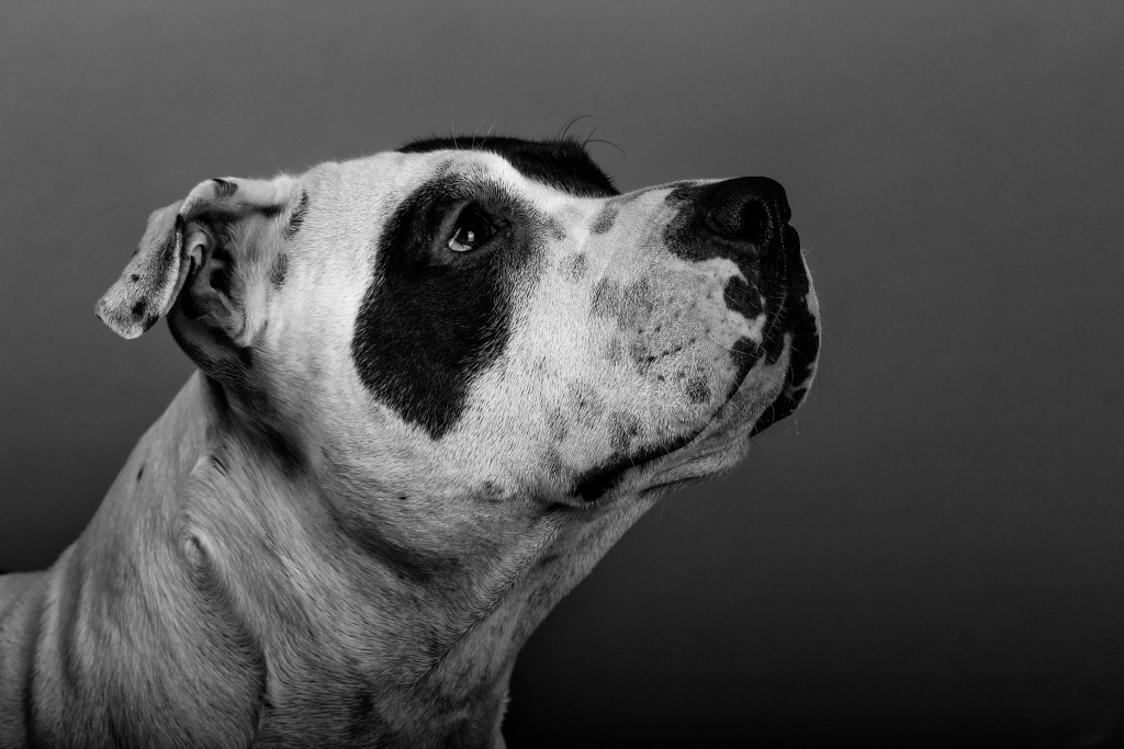 Close-Up Of American Staffordshire Terrier Against Wall. Photo by Daniele Natarelli/EyeEm/via Getty Images