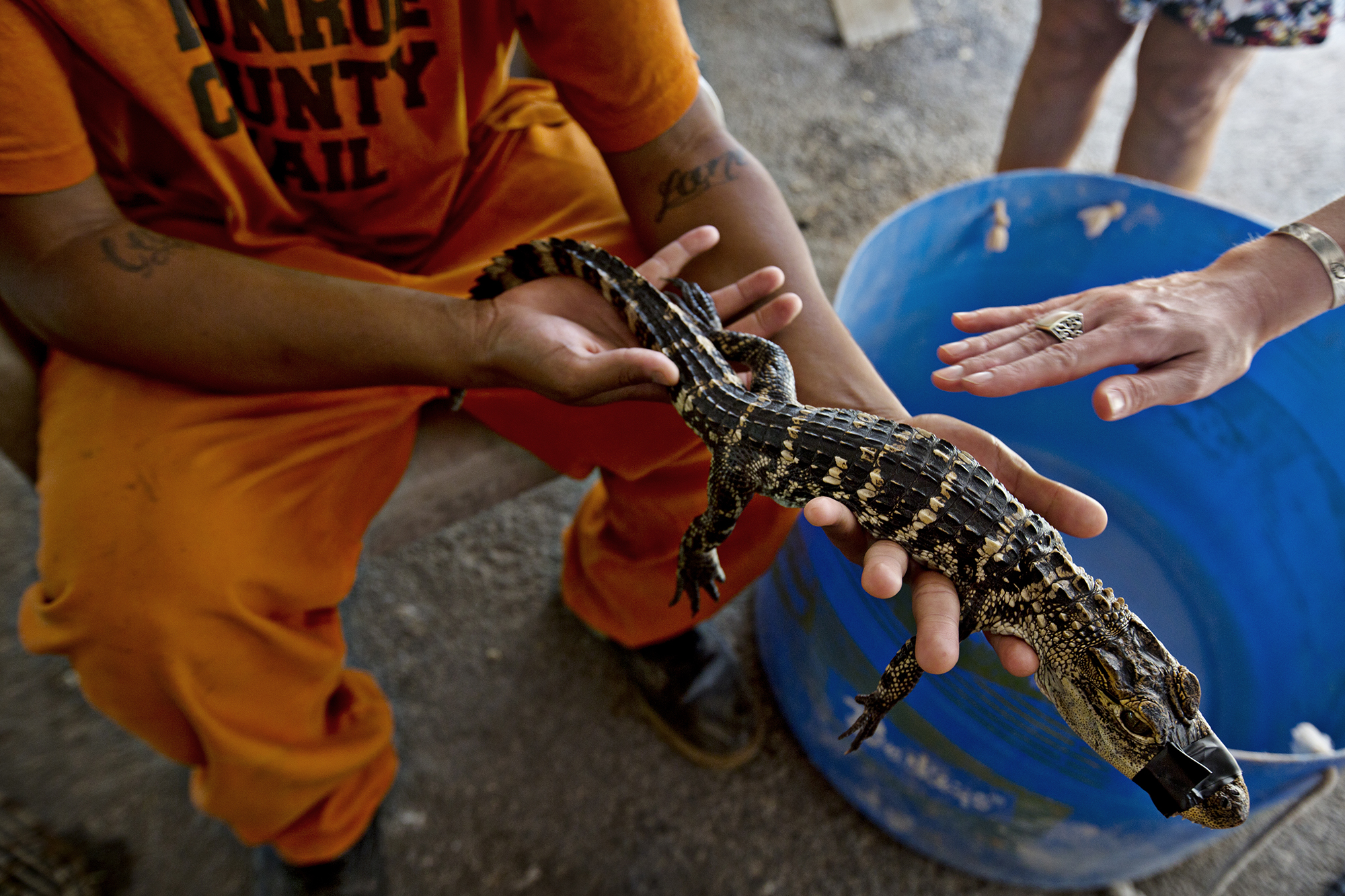 "Inmate Orlando Gonzalez shows ""Boots"" the alligator to visitors during an open house at the Monroe County Sheriff's Office Farm on Stock Island, Florida.  ""Boots"" came to the farm after ingesting the silicone lining in her aquarium. Her owners didn't want to pay for the veterinary care to get her back to health so they signed her over to Dr. Doug Mader, who then donated her to the farm.   Photo by Kim Raff"