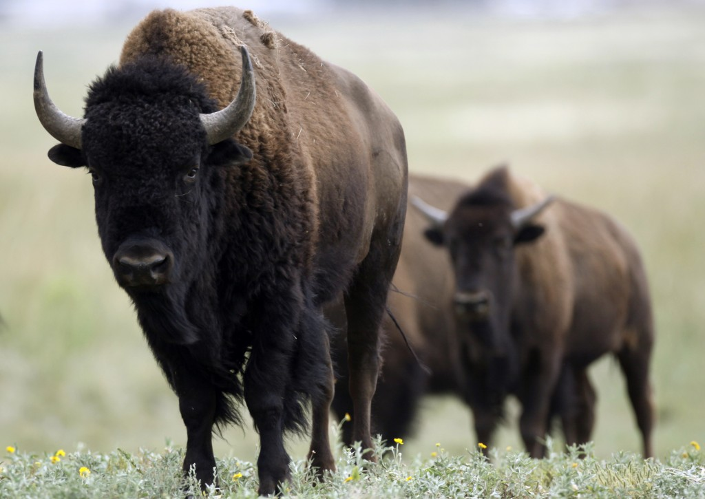 In April, Congress unanimously passed legislation designating the American bison as the country's national mammal. Photo by U.S. Forest Service via Reuters