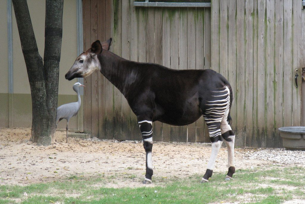 Okapi at the Houston Zoo. Photo by Jim Ellwanger via Flickr