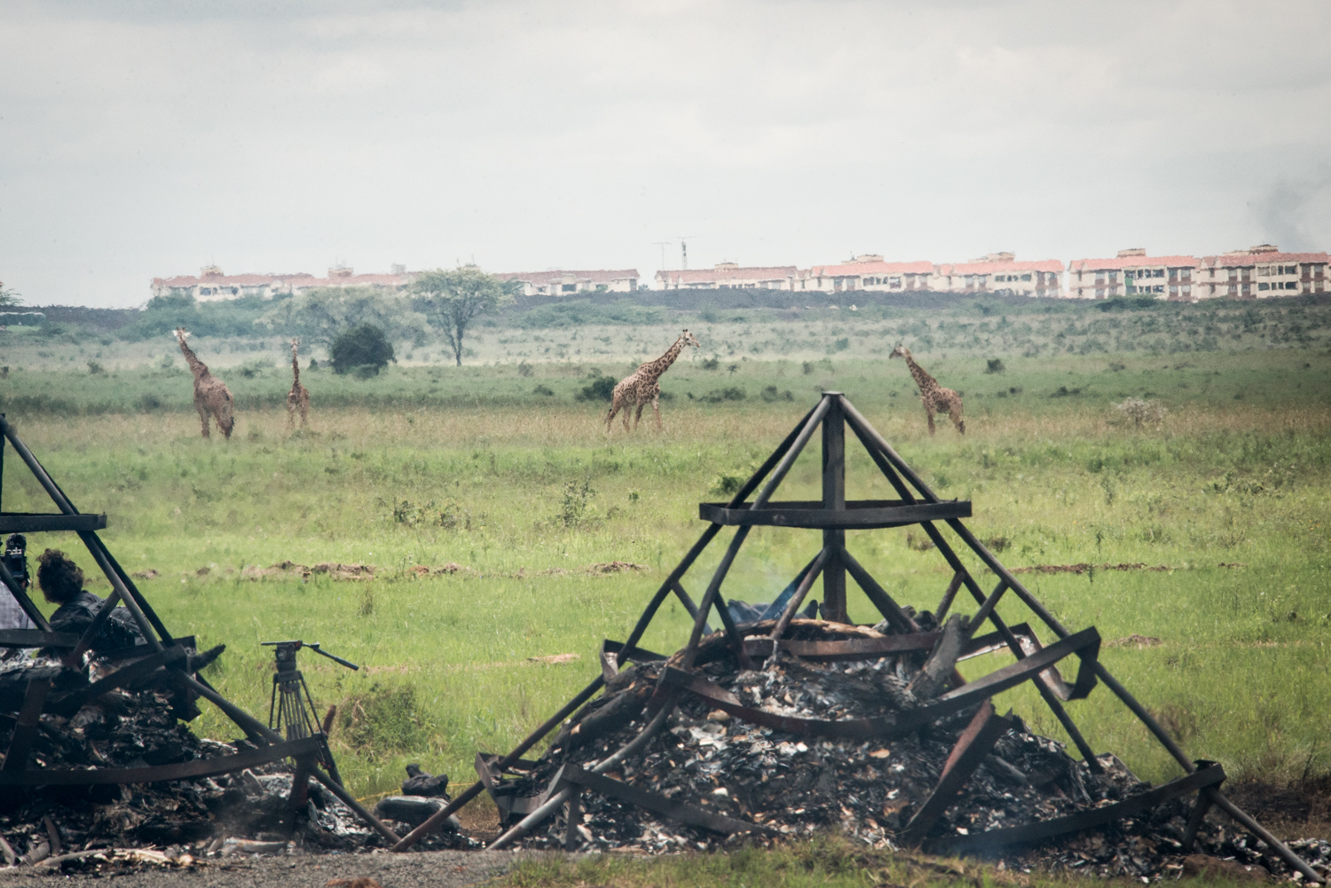 A herd of giraffes walk by the scene of the burn. The previous night, lions grabbed a burnt crocodile skin, which was discovered later that morning some distance away. Photo by Mia Collis for the Kenya Wildlife Service