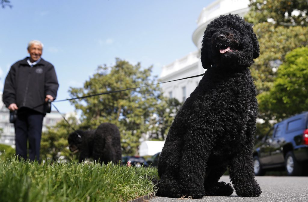 U.S. President Barack Obama's dogs Bo (L) and Sunny (R) get a walk on the South Lawn of the White House in Washington May 17, 2014. Photo By Jonathan Ernst/Reuters