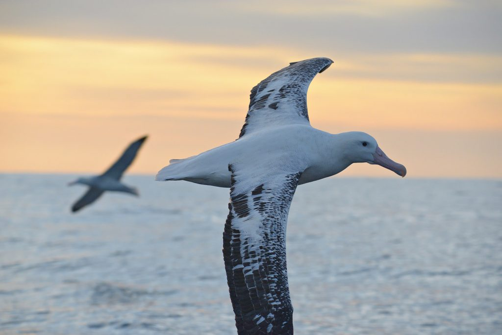 A wandering albatross can sniff a piece of floating carrion from three miles away. Photo by Ben/via Flickr