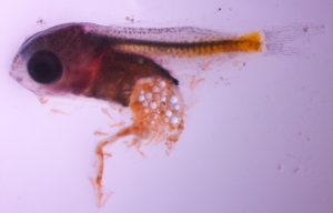 European perch weren't alone. This damselfish larva  feasted on microplastics until its stomach exploded. Photo by Oona Lönnstedt