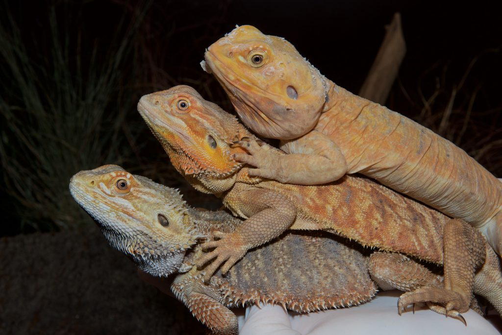 This picture shows (from bottom to top) bearded dragons that are: normal, heterozygous mutant (it received only one copy, either from its mother or from its father, of the mutated EDA gene) and homozygous mutant (it received two copies of the EDA mutation: one from its father and one from its mother). The homozygous mutant lacks all scales, while the heterozygous mutant has scales that are reduced in size. Photo by Michel C. Milinkovitch