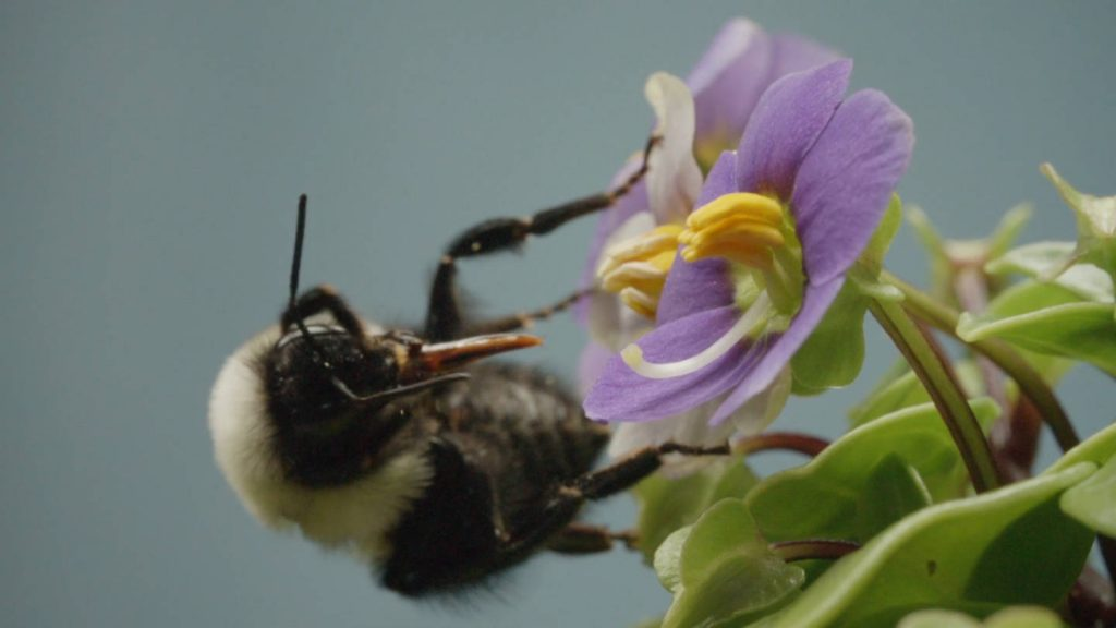 A bumblebee grooms her fur — and her tongue — to get at the pollen grains she vibrated free from the anthers. Photo by Josh Cassidy/KQED