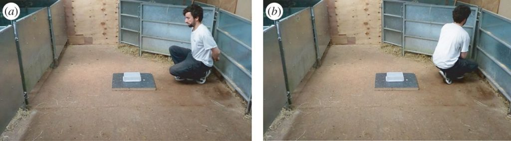 Experimenter in the test arena demonstrating forward (a) and back (b) conditions. Photo by Nawroth C et al., Biology Letters, 2016.
