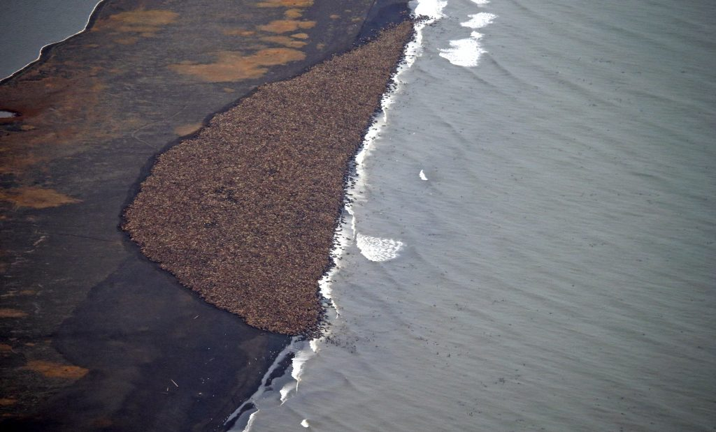 An estimated 35,000 walruses are pictured are pictured hauled out on a beach near the village of Point Lay, Alaska, 700 miles northwest of Anchorage, in this September 2014 handout photo. According to scientists, the congregation of Pacific walruses -- one of the largest ever -- was prompted by a lack of sea ice which the walruses use to rest in Arctic waters, according to scientists. REUTERS/Corey Accardo/NOAA/NMFS/AFSC/NMML/Handout via Reuters (UNITED STATES - Tags: ANIMALS ENVIRONMENT SCIENCE TECHNOLOGY) THIS PICTURE WAS PROCESSED BY REUTERS TO ENHANCE QUALITY. AN UNPROCESSED VERSION WILL BE PROVIDED SEPARATELY FOR EDITORIAL USE ONLY. NOT FOR SALE FOR MARKETING OR ADVERTISING CAMPAIGNS - RTR48KFE