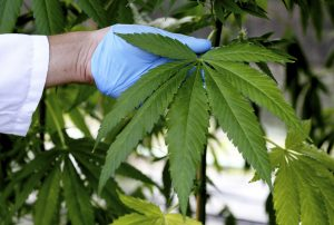 Marijuana plant. File photo by Alessandro Bianchi/Reuters