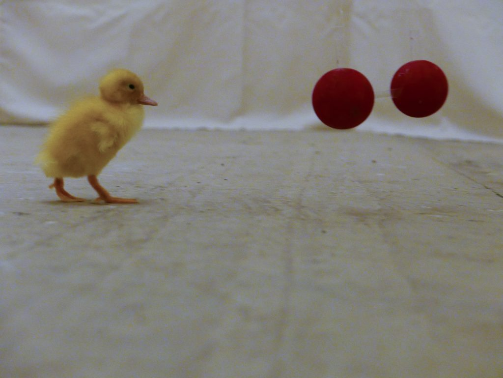 "A duckling in the testing arena approaches a stimulus pair composed of ""same"" shapes. Photo by Antone Martinho"
