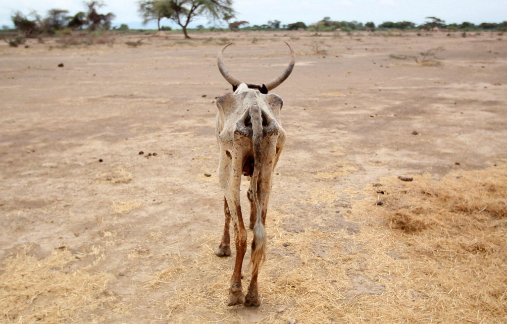 An emaciated cow walks through a dry field in the Oromia region of Ethiopia. Photo by Tiksa Negeri/Reuters