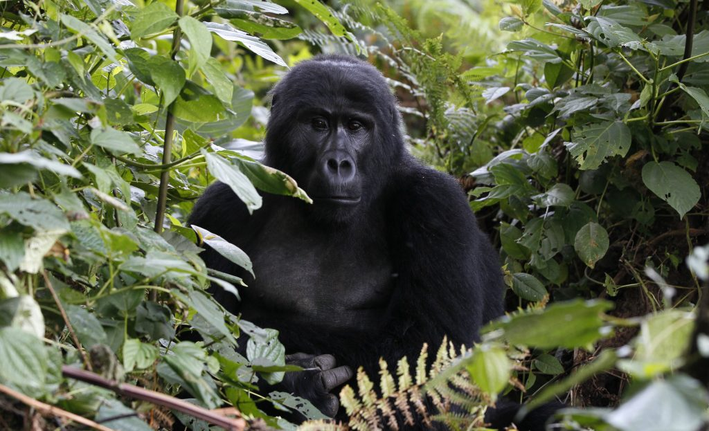 An endangered mountain gorilla rests in the Bwindi Impenetrable National Park in southwestern Uganda. The total population of mountain gorillas worldwide is estimated at 880, half of which are to be found in Uganda's Bwindi forest. Photo by Thomas Mukoya/Reuters