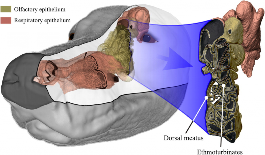 This computer model of the canine nasal airway shows turbinates, a maze of mucus-filled passageways, filter air and odors. Odor-related -- olfactory -- turbinates sit in the back part of the canine nose. Photo by Photo by Lawson MJ, Craven BA, Paterson EG and Settles GS, Chemical Senses, 2012