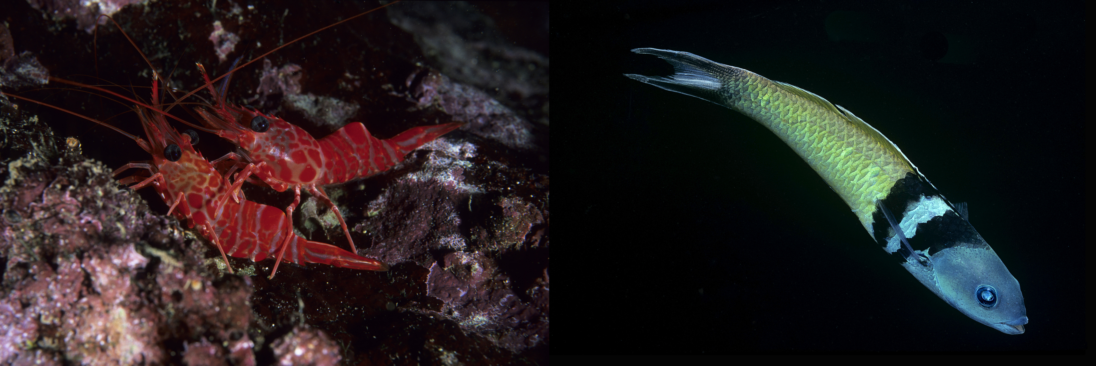 Red night shrimp (Rhynchocinetes rigens; left) are the most popular prey item for lionfish in Bermudian waters. The invasive predators also feast on bluehead wrasse, which remove parasites from other fish species. Photos by Franco Banfi (left) and Paul Starosta/via Getty Images