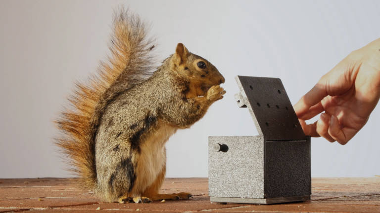 University of California, Berkeley, animal behaviorist Mikel Delgado trained fox squirrels to expect a walnut each time they opened a box. Photo by Josh Cassidy/KQED