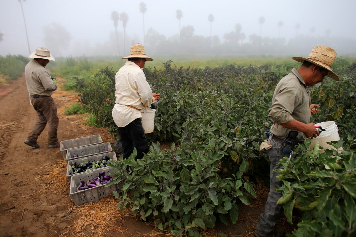 Farm workers pick eggplant in the early morning fog on a farm in Rancho Santa Fe, California United States August 31, 2016.    REUTERS/Mike Blake  - RTX2NQI4