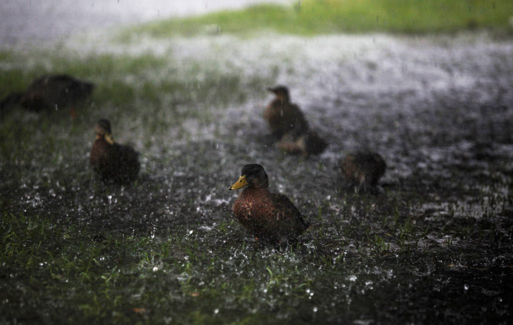 Ducks are splashed by the heavy rains of Tropical Storm Hermine as it passed through Surfside Beach, South Carolina, U.S. September 2, 2016. Photo by Randall Hill/REUTERS
