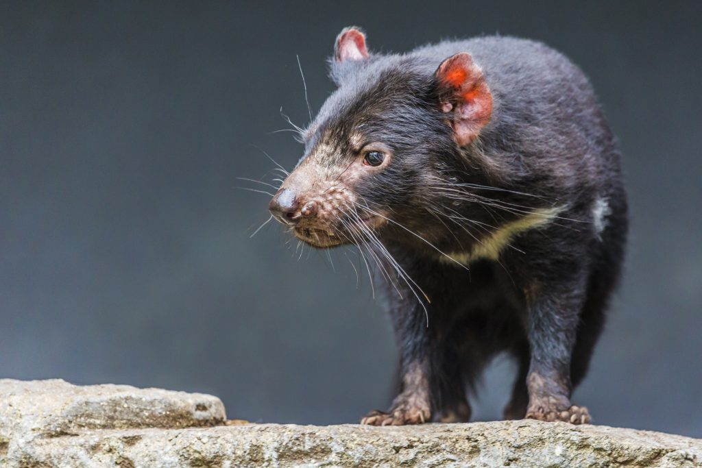 Extinctions caused by infectious diseases are rare, and a series of studies show both Tasmanian devils and their facial tumors are evolving to keep the marsupial alive. Photo by Mariusz Prusaczyk/via Adobe